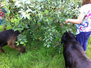 Dogs eating cherries